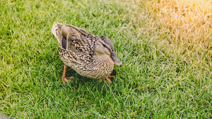 Duck on the grass. Variegated bird on the meadow. The animal is in nature.