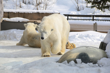 polar bear (white bear) on the snow.