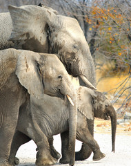 Family of three elephants including a calf walking in the bush veld in Hwange, Zimbabwe