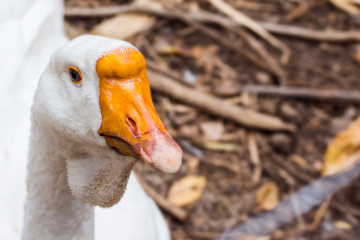portrait of a white goose with a big orange beak