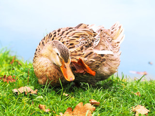 Portrait of a poultry. French Rouen duck on an autumn background combes his head with his paw. A fat duck on a green grass covered with fallen oak leaves