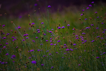 Purple wildflowers in meadow field