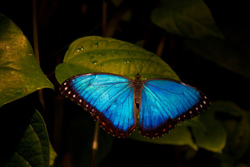 Bright blue Butterfly wings on green leaf
