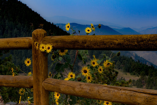 Sunflowers at rail fence with mountains