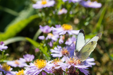 The cabbage butterfly sitting on a flower