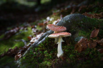 Amanite tue-mouches (Fly Agaric)