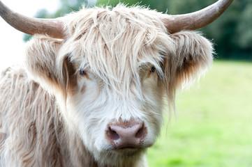 Closeup portrait of beautiful highland scottish hairy creamy cow