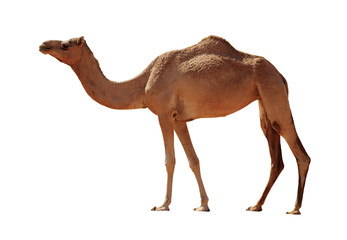 Fotobehang Kameel Camel isolated on white background