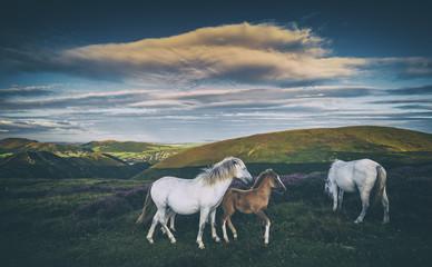 Wild Ponies on Mountain Meadow