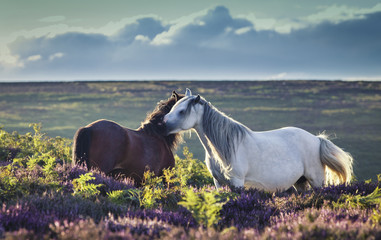 Wild Horses on Upland Heathland Meadow