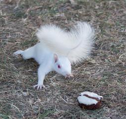 White Squarrel