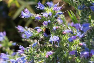 bee as well as bumblebee on flowers in rural summer garden in german countryside