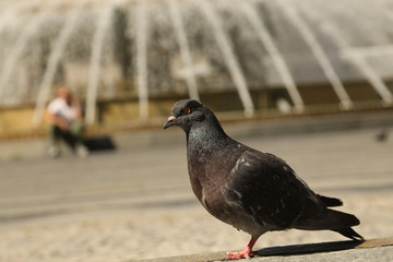 Pigeons Feeding On The Square