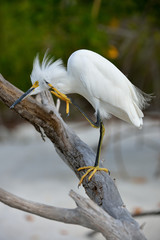 Snowy Egret; contemplative; scratching his head