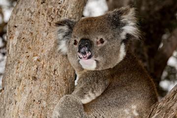 Wild koala on a tree while looking at you in kangaroo island