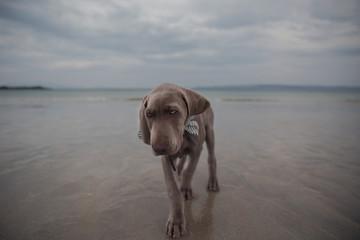 Puppy walking on the beach