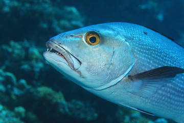 Two-spot red snapper fish
