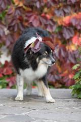 Australian Shepherd im Herbst