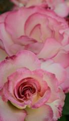 Beautiful creamy pink roses