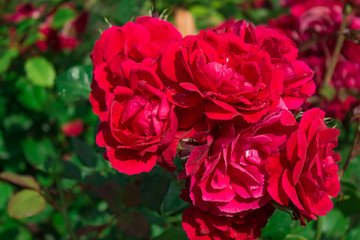 Цветущая в саду роза Фламментанц