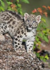 Snow Leopard Kitten on rocky surface in the woods