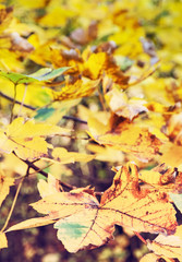 Close up photo of maple tree with yellow leaves, red filter