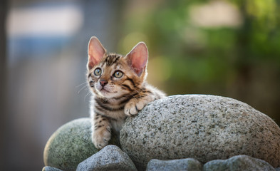 Bengal Kitten lying on Rock, outdoor