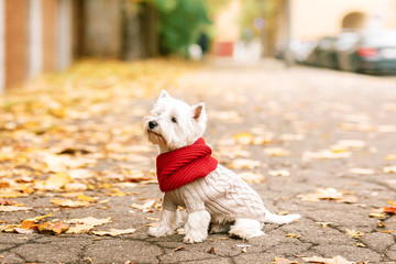 west highland white terrier  playing in the park on the autumn foliage, gold nature, dog in beige pullover and red scarf
