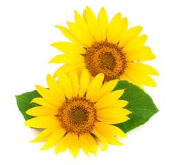 Two sunflowers with leaves isolated on white background