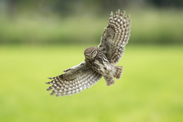 Little owl, Athene noctua, bird of prey in flight