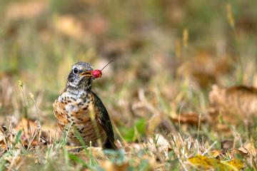 Juvenile American Robin eats a wild crabapple in autumn