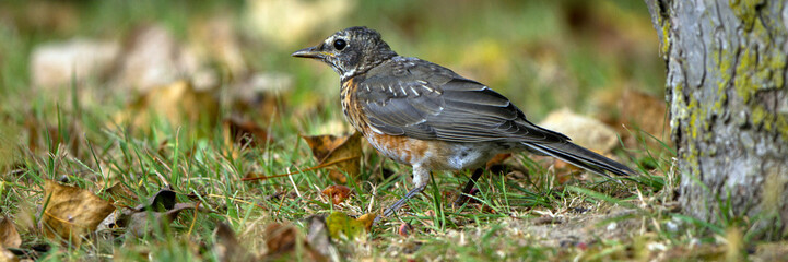 Juvenile American Robin in autumn
