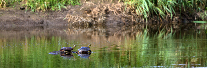 Two Painted Turtles bask on a sunken log in the Mississippi River, near the Wisconsin shore, with reflections