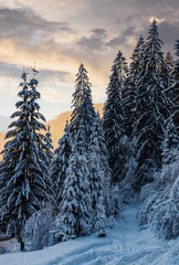 amazing nature view of snowy spruce forest at gorgeous winter sunset