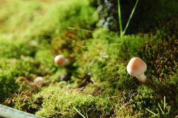 Bonsaischale mit Bonsai Lärche und Pilze