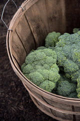 fresh picked broccoli in a basket