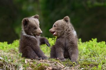 Wall Mural - Brown bear cub