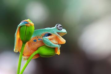 Tree frog, rhacophorus reinwardtii on branch