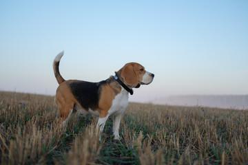 Beagle dog on a walk on an autumn morning in the fog