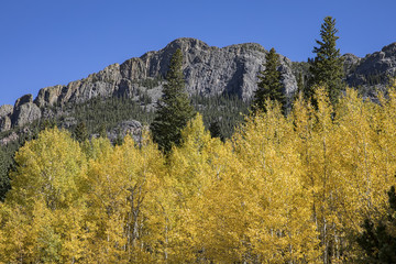 Aspen trees peaking with their yellow fall colors in Rocky Mountain National Park.