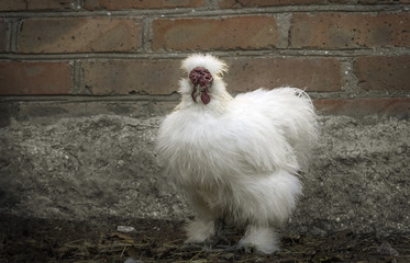 Serious white silkie rooster - growth portrait
