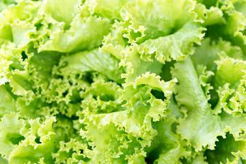 Detail of a romaine lettuce