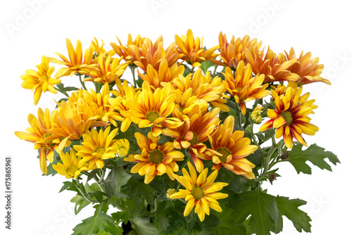 Herbst Chrysantheme Stock Photo And Royalty Free Images On Fotolia