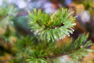 Rain drops on the needles. Rain drops and needles on the macro photo.