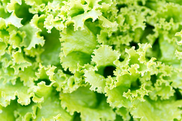 Detail of a romaine lettuce