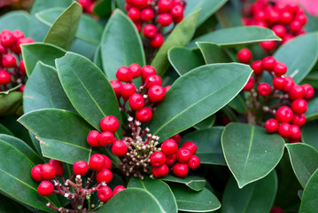 Close-up macro detail of multiple clusters of Red Dahoon Holly (Ilex cassine) fruits and leaves during Christmas. Singapore. Travel and holidays concept.