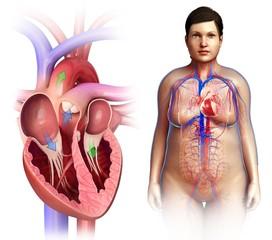 Female heart valves and anatomy, illustration