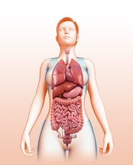 Female body organs, illustration