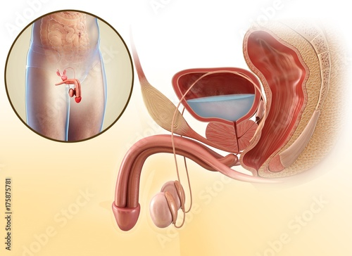 Male urinary system, illustration\