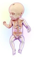 Baby's digestive system, illustration